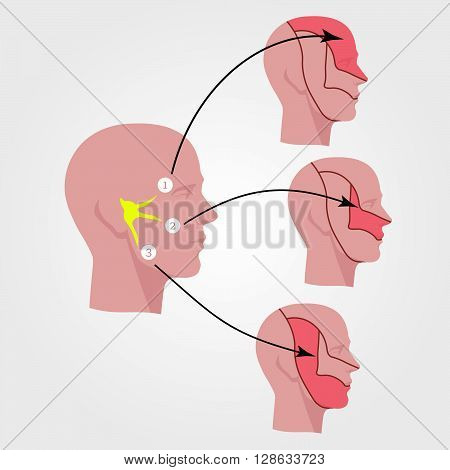 The trigeminal nerve. Human head. Flat illustration