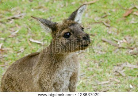 this is a close up of a KI kangaroo on Kangaroo-Island