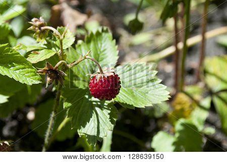 Wild Eco Fresh Strawberries In The Garden.