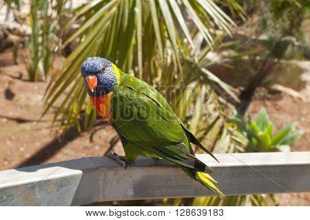 Solomon Island Parrot. Eclectus Roratus Solomonensis