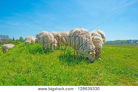Sheep on a sunny green dike in spring