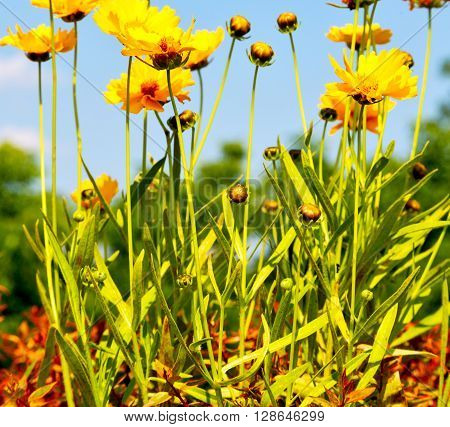 In Italy Dasy Yellow Flower Field Nature And Spring