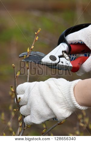 hands in gloves pruning black current with secateurs in the garden