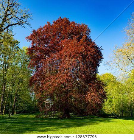 Acer rubrum in park