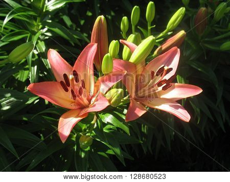 two pink and white stargazer lilies blooming