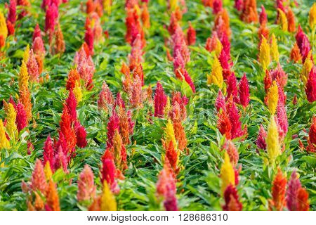 Beautiful  celosia flowers background in the garden ** Note: Shallow depth of field