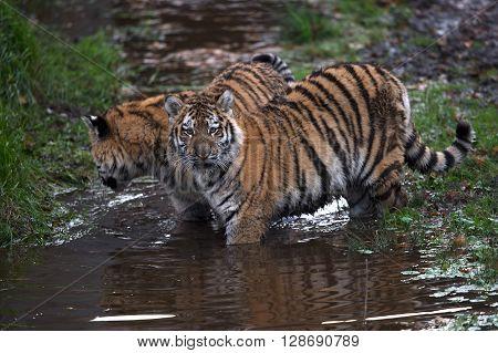 Siberian Tiger Cubs (Panthera Tigris Altaica) playing in muddy water