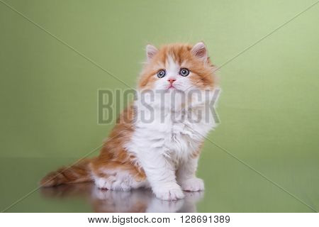 Kitten Scottish Fold Breed