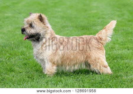 Typical Norwich Terrier in the spring garden