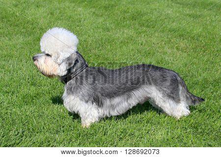 Typical Dandie Dinmont Terrier in the spring garden