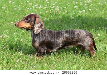 Typical Dachshund Smooth-haired (colour Tiger-brindle) in the spring garden