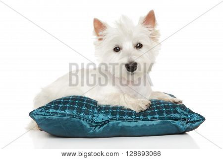 Highland White Terrier On Pillow