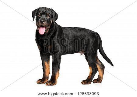 Rottweiler Puppy On White Background
