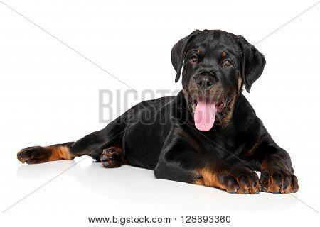 Rottweiler Puppy Lies Down On White
