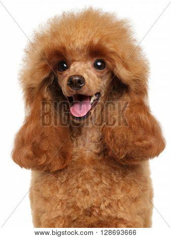 Toy Poodle Close-up Portrait