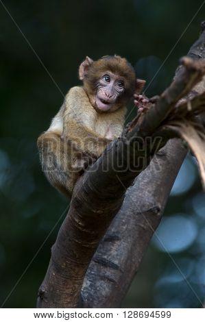 Young Barbary Macaque (Macaca Sylvanus) in tree