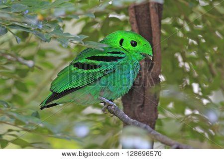 Green Broadbill Calyptomena viridis Male Birds of Thailand ** Note: Visible grain at 100%, best at smaller sizes