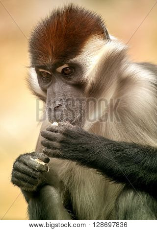 Closeup portrait of a mangabey monkey eating