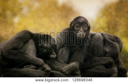Colombian black spider monkeys resting in the nature