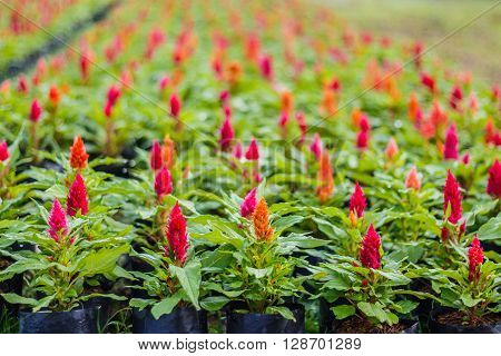 Beautiful  celosia flowers background in the garden