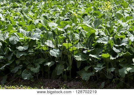 close-up photographed in daylight collard greens agriculture