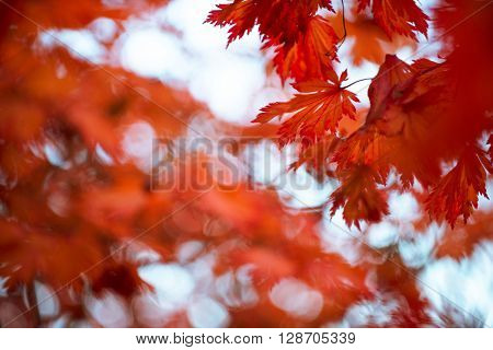 Red maple leafs - Beautiful red maple leafs with blurred background.