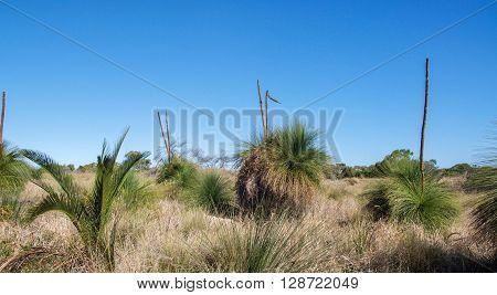 Native spiky green yakka trees with tall stamens in Western Australian bushland landscape under a bright blue sky.