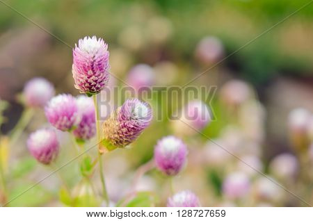 Globe Amaranth Flower (Other names are Amaranthus Tampala Tassel Flower Flaming Fountain Fountain Plant Joseph's Coat Love-lies-bleeding Molten Flower Prince's Feather and Summer Poinsettia) poster