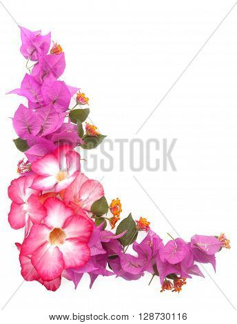 Pink freah  flowers frame isolated white background