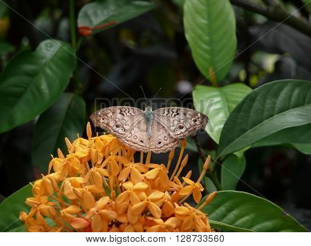butterfly gray pansy (Junonia atlites) on yellow ixora flowers