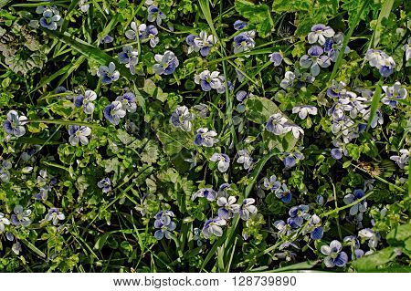 small florets speedwell probably Veronica filiformis living carpet with grass