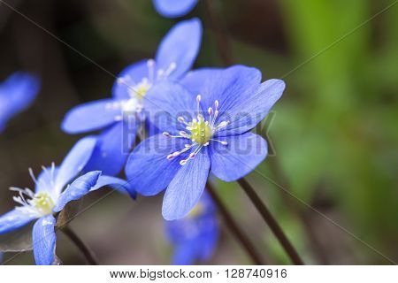 spring flower pechenocna noble - Hepatica Nobilis  closup