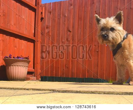 fence garden background with a cairn terrier dog pepping into the frame