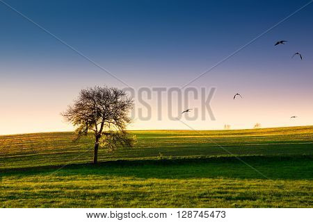 Lonely tree growing on a field surrounded by birds. Masuria Poland.