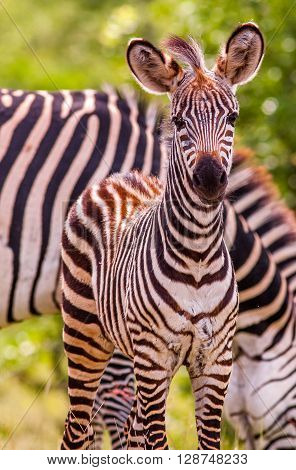 Wild African baby zebra and mother in the backround
