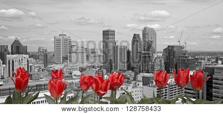 Montreal black and white cityscape with red tulip in front