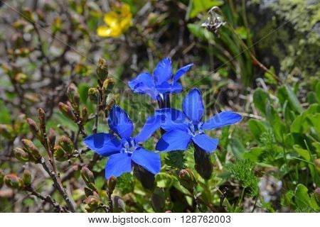 Gentiana verna flowers on alpine meadow. Close-up.