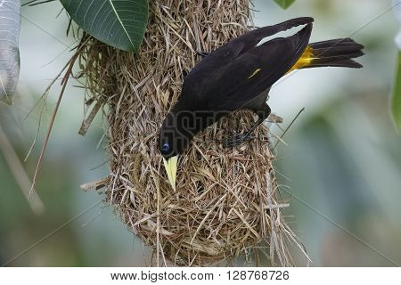 Female Yellow-rumped Cacique At Its Hanging Nest - Panama