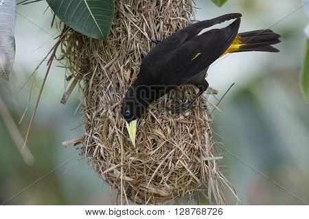 Female Yellow-rumped Cacique (Cacicus cela) at her haniging nest - Panama poster