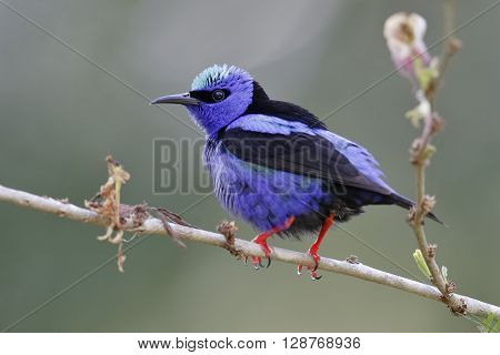 Male Red-legged Honeycreeper (Cyanerpes cyaneus) perched in a tree - Panama poster