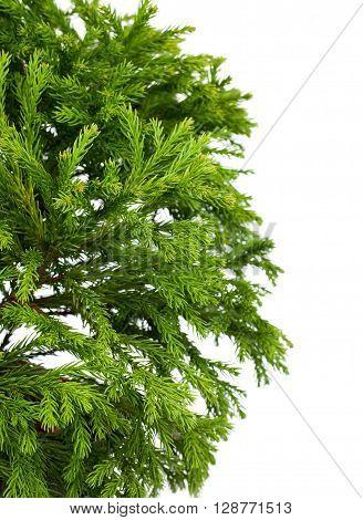 Cryptomeria japonica 'Globosa Nana' (Dwarf Globe Japanese Cedar) isolated on white background