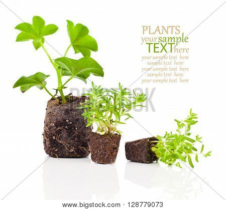 geranium seedlings with roots ready to plant on a white background