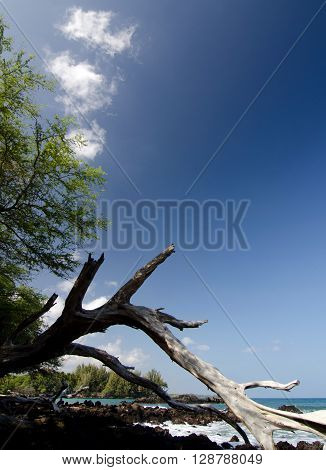 Massive piece of white dry wood trunk at Beach 69, Waialea, Big Island