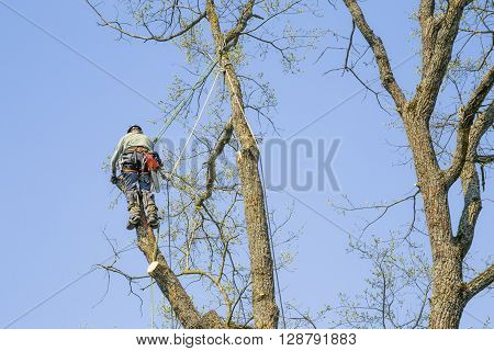 Man with special equipment pruning oak tree