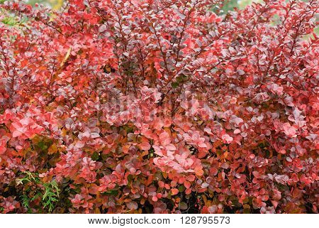 Berberis thunbergii (Latin Berberis thunbergii `Coronita`) background