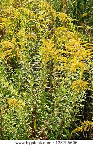 Solidago virgaurea L. flower green yellow background