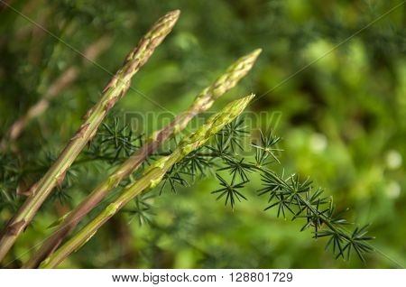 Wild Asparagus (Asparagus officinalis) plant in the forest