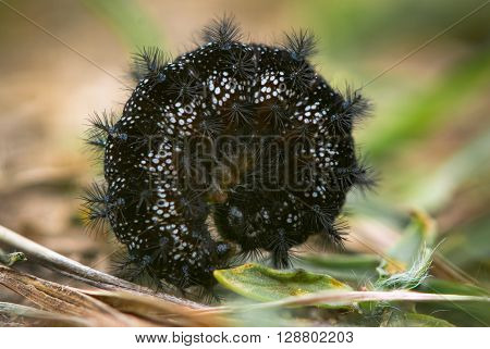 Marsh fritillary (Euphydryas aurinia) late instar caterpillar. A spiney black caterpillar ready to pupate on grassland after overwintering in Wiltshire UK