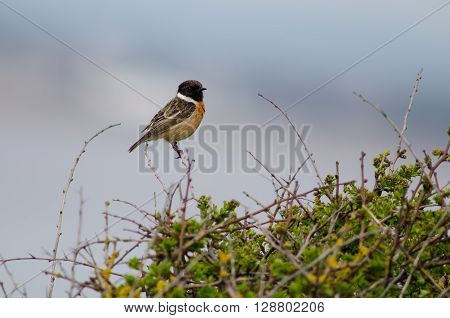 Stonechat (Saxicola torquata) male perched on bush against blue sky. Bird in the family Turdidae calling from perch on low vegetation showing black head and white collar