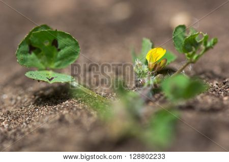 Spotted medick (Medicago arabica) leaves and flower. Yellow flower and distinctive leaflets with dark blotch in centre of this plant in the pea family (Fabaceae)